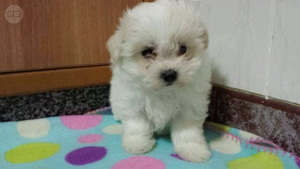 Regalo bichon maltes pedigree