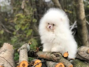 Selling puppies of the Pomeranian Spitz