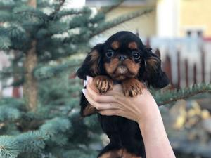 Sell puppies King Charles Spaniel.