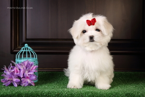 Irlayn dog sells puppies Maltese, boys