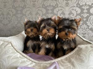 The boy puppy Yorkshire Terrier mini and super mini.